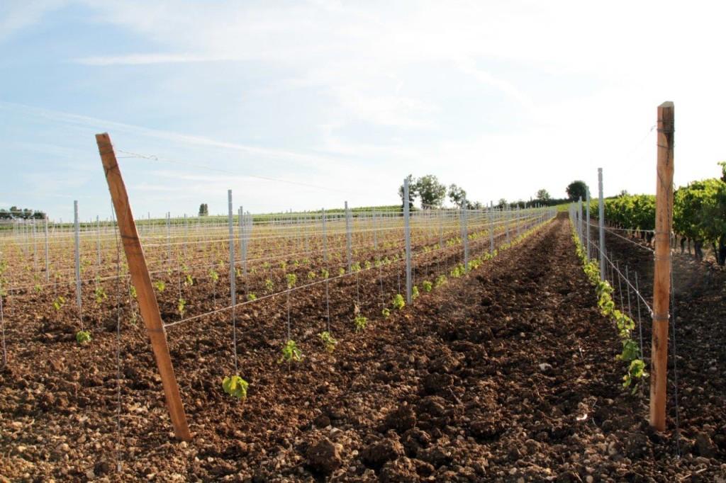 Plants de vignes - Domaine de Labarthe - Vin Sud-Ouest bio